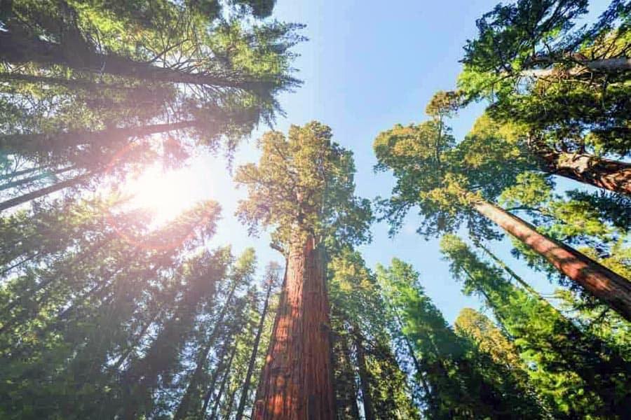Elevate Lake Tahoe Trees